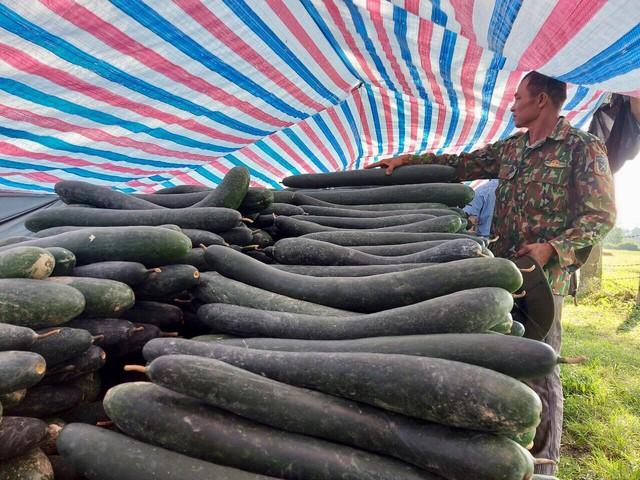 Hàng trăm tấn bí xanh nằm ruộng, nông dân đỏ mắt chờ thương lái - Ảnh 3.
