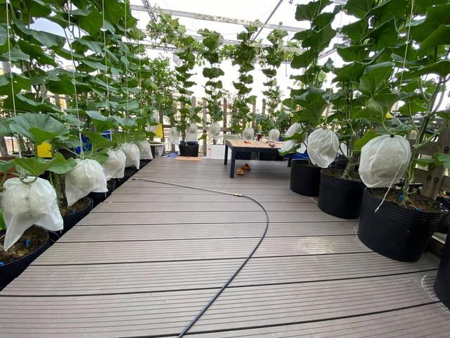 Ngắm vườn dưa lưới vạn người mê giữa lòng thành phố: Chẳng cần nhà to, nội thất sang trọng, khu vườn xanh mát này là đủ để ai cũng ước ao - Ảnh 7.