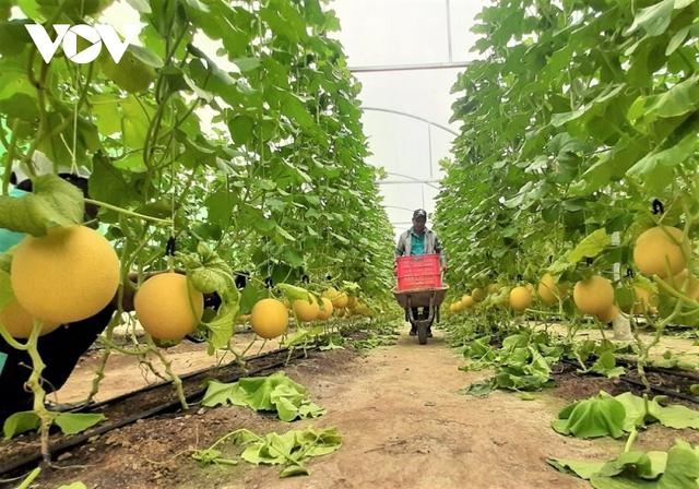 Người dân trồng dưa lưới lo đầu ra do ảnh hưởng dịch Covid-19  - Ảnh 1.