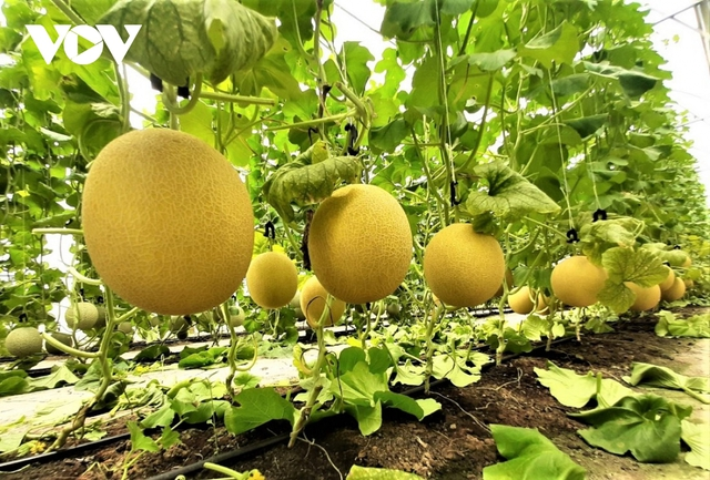 Người dân trồng dưa lưới lo đầu ra do ảnh hưởng dịch Covid-19  - Ảnh 2.