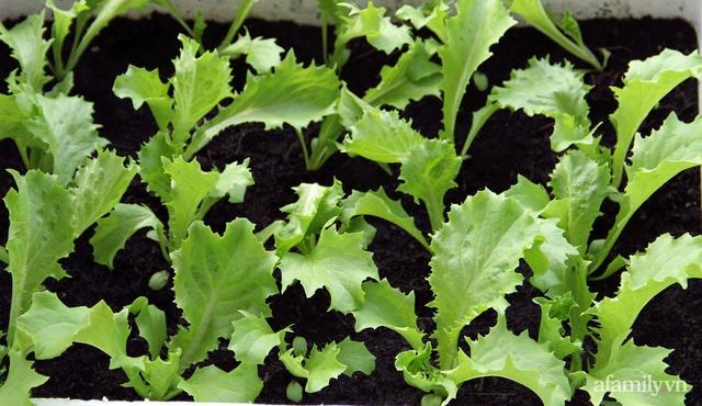 Vườn rau trong thùng xốp với đủ loại cây trái của mẹ 9x trồng cho con thưởng thức ở Buôn Ma Thuột - Ảnh 18.