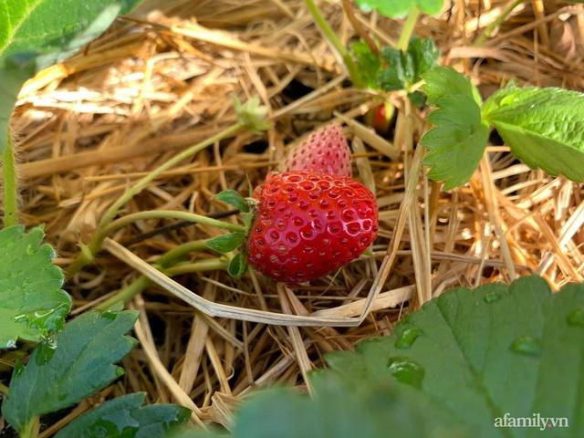 Vườn rau trong thùng xốp với đủ loại cây trái của mẹ 9x trồng cho con thưởng thức ở Buôn Ma Thuột - Ảnh 24.