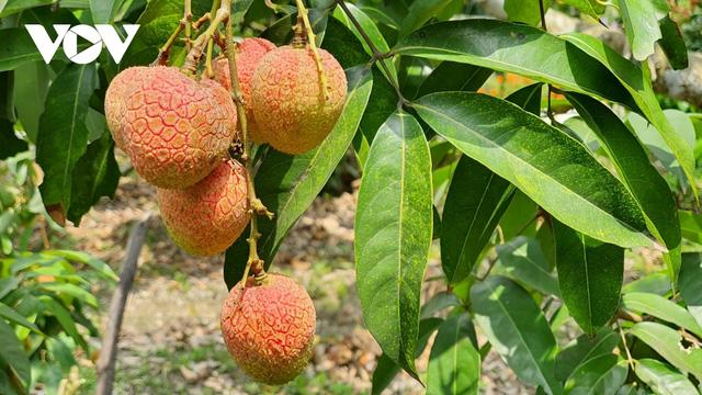 Nhiều giải pháp hỗ trợ sản xuất và tiêu thụ nông sản tại Bắc Giang - Ảnh 1.