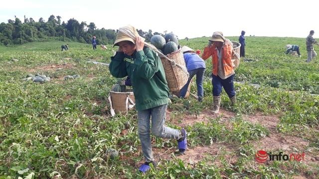 Giá dưa hấu Thanh Hóa rớt thảm, chỉ còn dưới 4.000 đồng/kg - Ảnh 1.