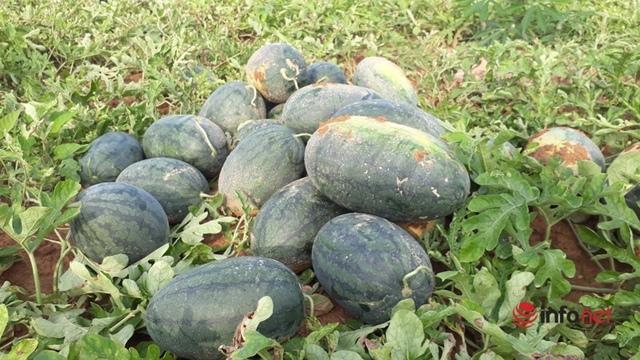 Giá dưa hấu Thanh Hóa rớt thảm, chỉ còn dưới 4.000 đồng/kg - Ảnh 2.