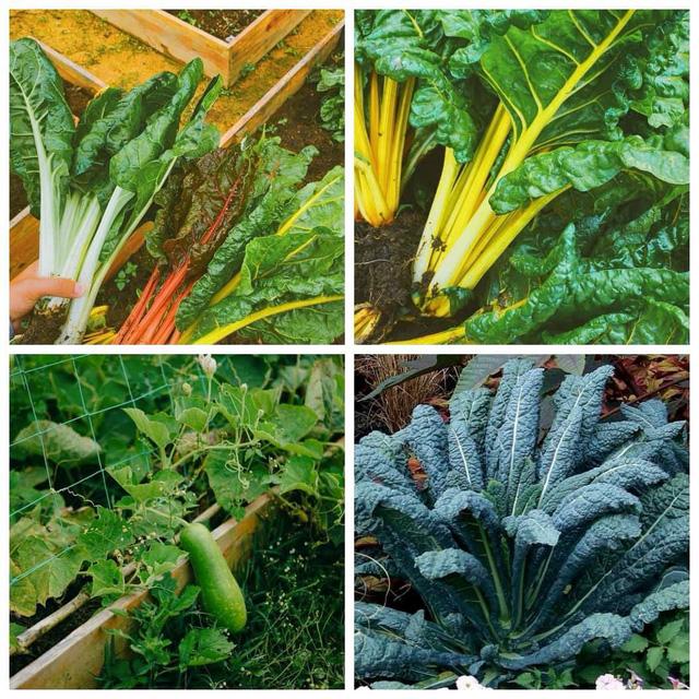 """Ngắm vườn rau xanh mướt giữa Đà Lạt của gia đình """"bỏ phố về rừng"""":  Không khí trong lành, rau sạch tươi tốt, ai cũng thích mê - Ảnh 6."""