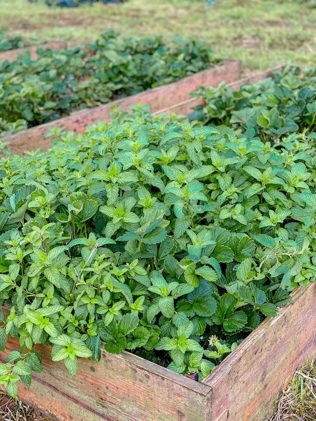 """Ngắm vườn rau xanh mướt giữa Đà Lạt của gia đình """"bỏ phố về rừng"""":  Không khí trong lành, rau sạch tươi tốt, ai cũng thích mê - Ảnh 14."""