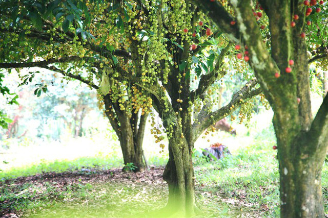 Mùa dâu da chi chít từ gốc đến ngọn, nông dân thu tiền triệu mỗi vụ - Ảnh 2.