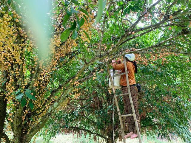Mùa dâu da chi chít từ gốc đến ngọn, nông dân thu tiền triệu mỗi vụ - Ảnh 15.