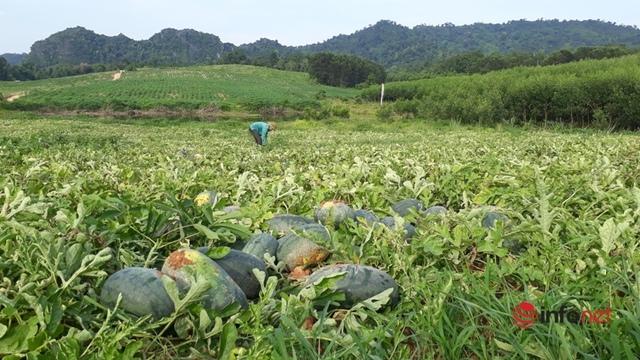 Giá dưa hấu Thanh Hóa rớt thảm, chỉ còn dưới 4.000 đồng/kg - Ảnh 3.