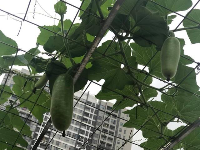 Vườn rau quả sạch 100m² trên mái nhà của mẹ 3 con ở Hà Nội - Ảnh 22.
