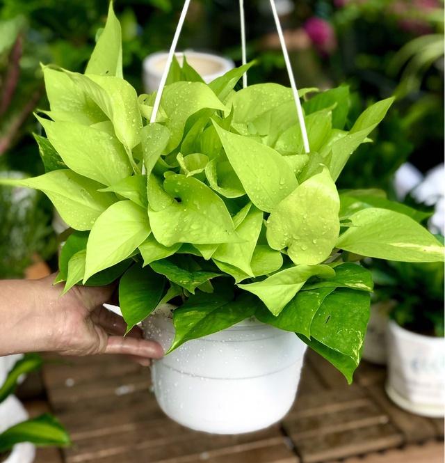 10 loại cây phong thủy trồng cho từng không gian của nhà phố, không cần nhiều ánh sáng, tưới ít nước vẫn tươi - Ảnh 4.