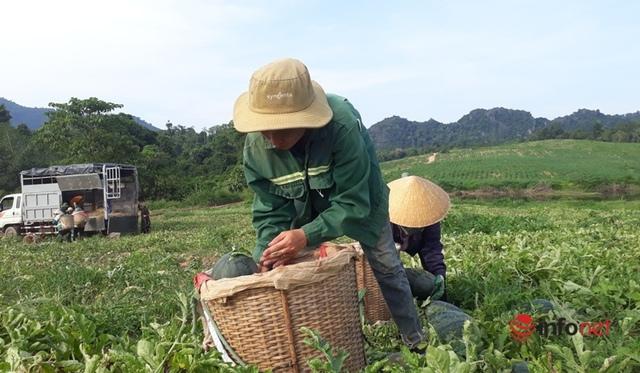 Giá dưa hấu Thanh Hóa rớt thảm, chỉ còn dưới 4.000 đồng/kg - Ảnh 4.