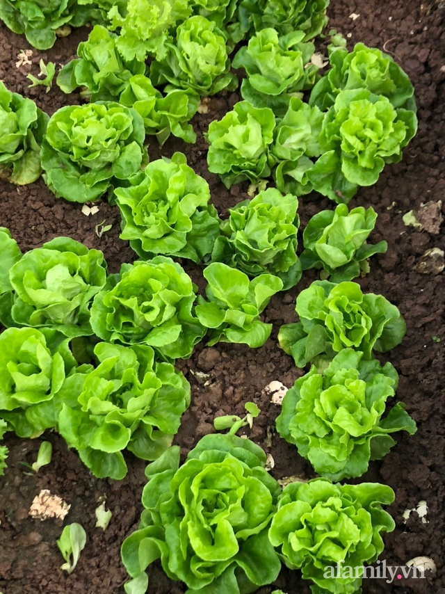 Vườn rau quả sạch 100m² trên mái nhà của mẹ 3 con ở Hà Nội - Ảnh 34.