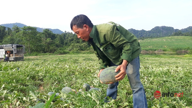 Giá dưa hấu Thanh Hóa rớt thảm, chỉ còn dưới 4.000 đồng/kg - Ảnh 5.
