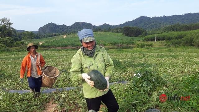 Giá dưa hấu Thanh Hóa rớt thảm, chỉ còn dưới 4.000 đồng/kg - Ảnh 6.