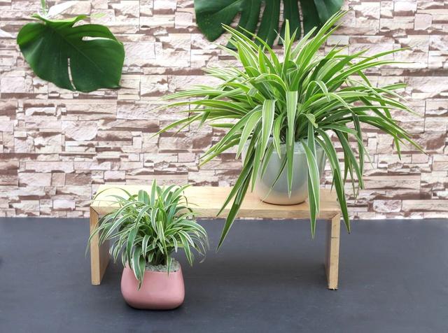 10 loại cây phong thủy trồng cho từng không gian của nhà phố, không cần nhiều ánh sáng, tưới ít nước vẫn tươi - Ảnh 9.