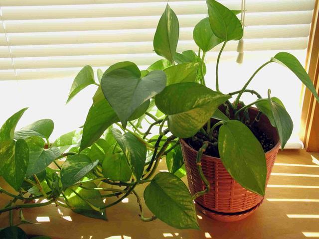 10 loại cây phong thủy trồng cho từng không gian của nhà phố, không cần nhiều ánh sáng, tưới ít nước vẫn tươi - Ảnh 10.