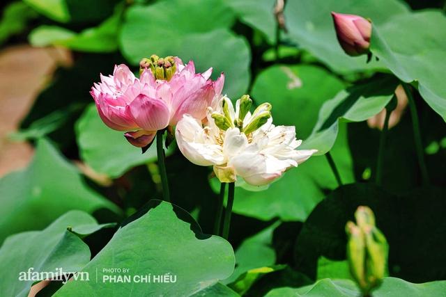 Đôi vợ chồng sở hữu căn nhà cổ 100 năm tuổi tại Hà Nội, sưu tập hàng trăm gốc sen cung đình Huế quanh nhà, ai đi qua cũng phải trầm trồ - Ảnh 2.