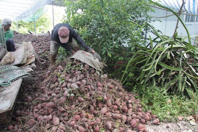 Điêu đứng vì khoai lang chưa tới 1.000 đồng/kg  - Ảnh 1.