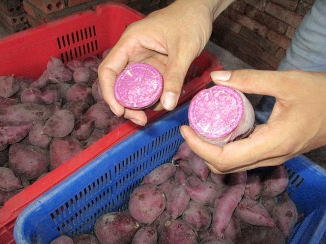 Nhiều nơi hỗ trợ tiêu thụ khoai lang tím Nhật giá 5.000 – 9.000 đồng/kg - Ảnh 4.