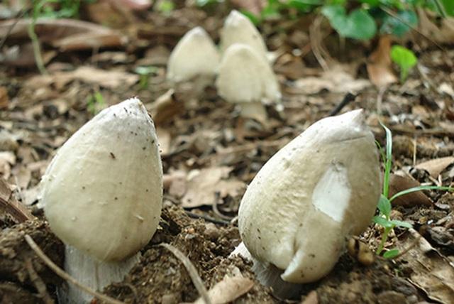 Việt Nam có loại nấm chỉ mọc hoang trong đúng 3 tháng, muốn hái không phải chuyện dễ nên giá bán lên tới cả triệu đồng 1 ký? - Ảnh 6.