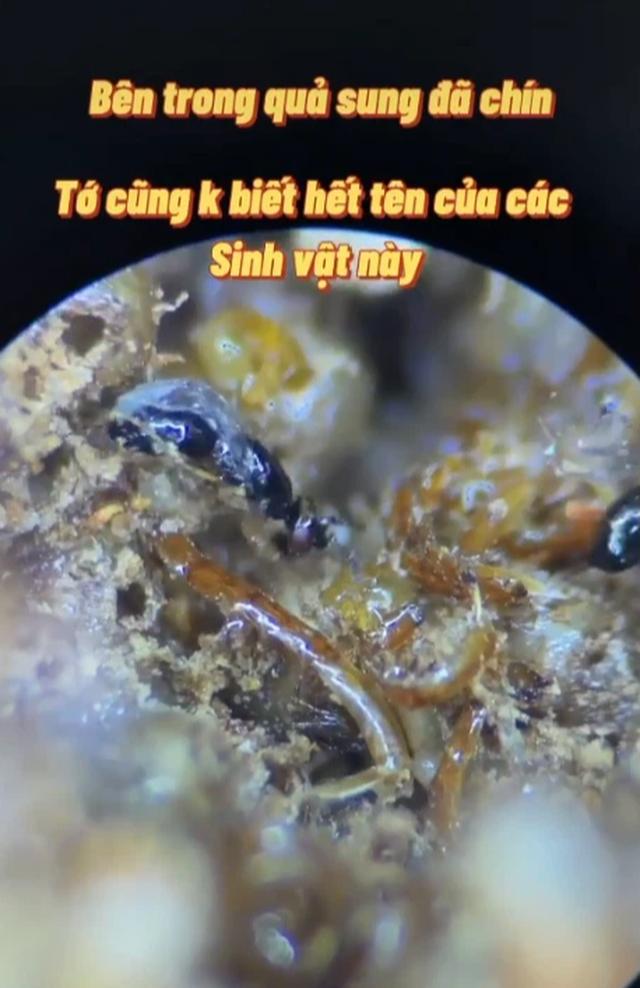 Soi quả sung dưới kính hiển vi: Sự thật có thể khiến bạn rùng mình và 4 nhóm người không nên ăn sung kẻo làm tổn thương sức khỏe - Ảnh 1.