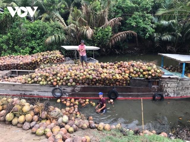 Dừa xiêm xanh đạt giá cao nhất trong vòng một năm qua  - Ảnh 1.