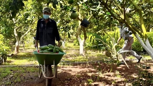 Trái cây không có đầu ra, nhà vườn ở Bà Rịa – Vũng Tàu kêu cứu - Ảnh 2.