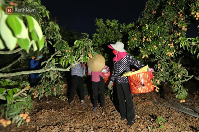 Ảnh: Người dân Bắc Giang thắp đèn từ 2 giờ sáng, đi thu hoạch vải thiều xuyên đêm - Ảnh 2.