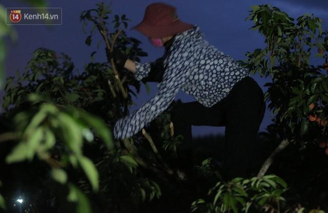 Ảnh: Người dân Bắc Giang thắp đèn từ 2 giờ sáng, đi thu hoạch vải thiều xuyên đêm - Ảnh 4.