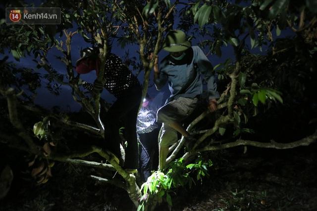 Ảnh: Người dân Bắc Giang thắp đèn từ 2 giờ sáng, đi thu hoạch vải thiều xuyên đêm - Ảnh 8.