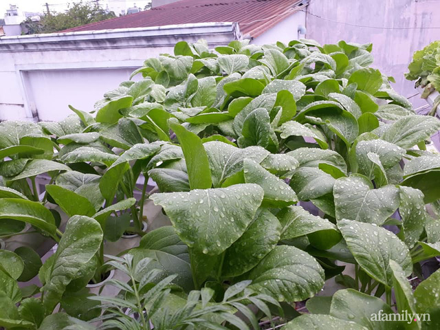 Dù không có sân thượng nhưng mẹ đảm ở Sài Gòn vẫn có được vườn nông sản xanh mướt trên mái tôn - Ảnh 22.