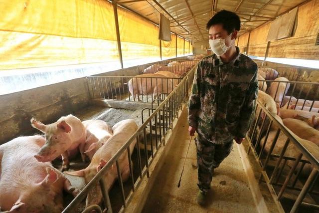Đàn lợn của Trung Quốc trở lại và lợi hại hơn xưa: Bắc Kinh sắp giành lại vị trí khách hàng số 1 của Mỹ? - Ảnh 1.