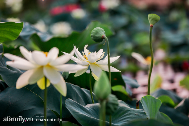 Đầm sen KHỦNG NHẤT VIỆT NAM với gần 170 loại sen quý trên khắp thế giới, mới mở được 2 năm nên nhiều người yêu sen nhất Hà Nội cũng chưa chắc biết - Ảnh 2.