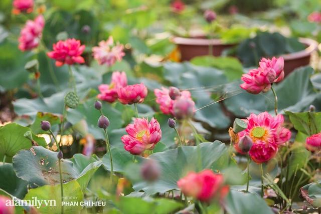 Đầm sen KHỦNG NHẤT VIỆT NAM với gần 170 loại sen quý trên khắp thế giới, mới mở được 2 năm nên nhiều người yêu sen nhất Hà Nội cũng chưa chắc biết - Ảnh 13.