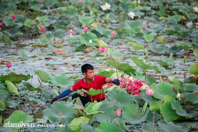 Đầm sen KHỦNG NHẤT VIỆT NAM với gần 170 loại sen quý trên khắp thế giới, mới mở được 2 năm nên nhiều người yêu sen nhất Hà Nội cũng chưa chắc biết - Ảnh 14.