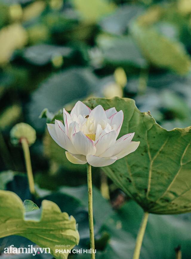 Đầm sen KHỦNG NHẤT VIỆT NAM với gần 170 loại sen quý trên khắp thế giới, mới mở được 2 năm nên nhiều người yêu sen nhất Hà Nội cũng chưa chắc biết - Ảnh 16.