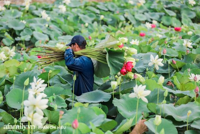 Đầm sen KHỦNG NHẤT VIỆT NAM với gần 170 loại sen quý trên khắp thế giới, mới mở được 2 năm nên nhiều người yêu sen nhất Hà Nội cũng chưa chắc biết - Ảnh 18.
