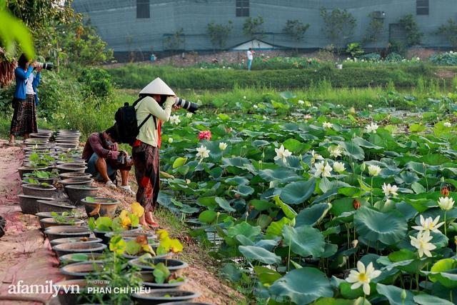 Đầm sen KHỦNG NHẤT VIỆT NAM với gần 170 loại sen quý trên khắp thế giới, mới mở được 2 năm nên nhiều người yêu sen nhất Hà Nội cũng chưa chắc biết - Ảnh 22.