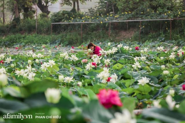 Đầm sen KHỦNG NHẤT VIỆT NAM với gần 170 loại sen quý trên khắp thế giới, mới mở được 2 năm nên nhiều người yêu sen nhất Hà Nội cũng chưa chắc biết - Ảnh 4.