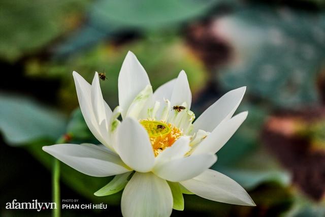 Đầm sen KHỦNG NHẤT VIỆT NAM với gần 170 loại sen quý trên khắp thế giới, mới mở được 2 năm nên nhiều người yêu sen nhất Hà Nội cũng chưa chắc biết - Ảnh 8.