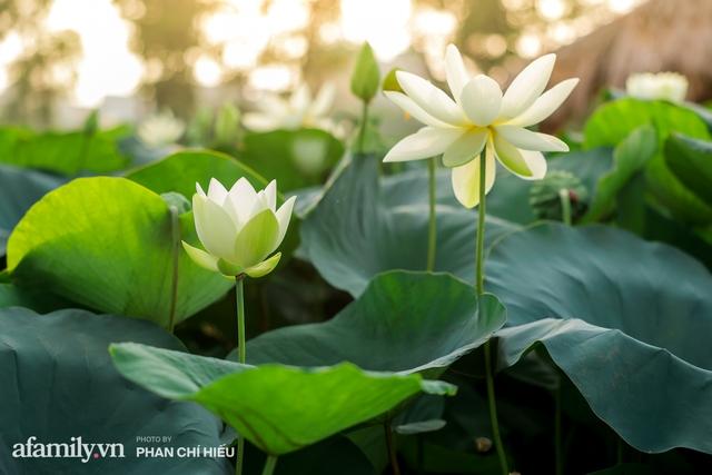 Đầm sen KHỦNG NHẤT VIỆT NAM với gần 170 loại sen quý trên khắp thế giới, mới mở được 2 năm nên nhiều người yêu sen nhất Hà Nội cũng chưa chắc biết - Ảnh 9.