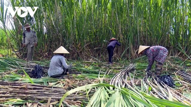Áp thuế đường Thái Lan, giá mía trong nước tăng ngay 200.000 đồng/tấn - Ảnh 1.
