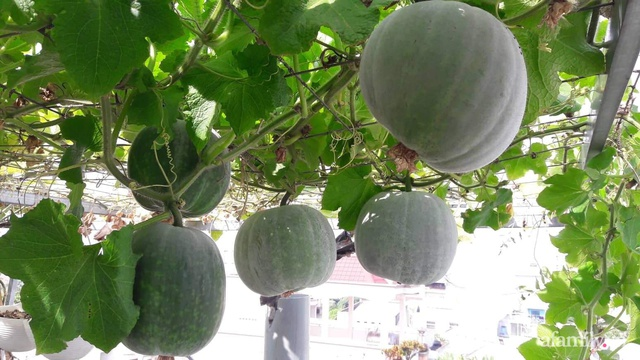Khu vườn thạch sanh bội thu rau quả quanh năm trên sân thượng ở Sài Gòn - Ảnh 21.