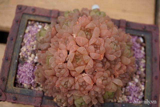 Khu vườn có hơn 100 loài sen đá rực rỡ trên sân thượng của vợ chồng trẻ Hải Phòng - Ảnh 17.