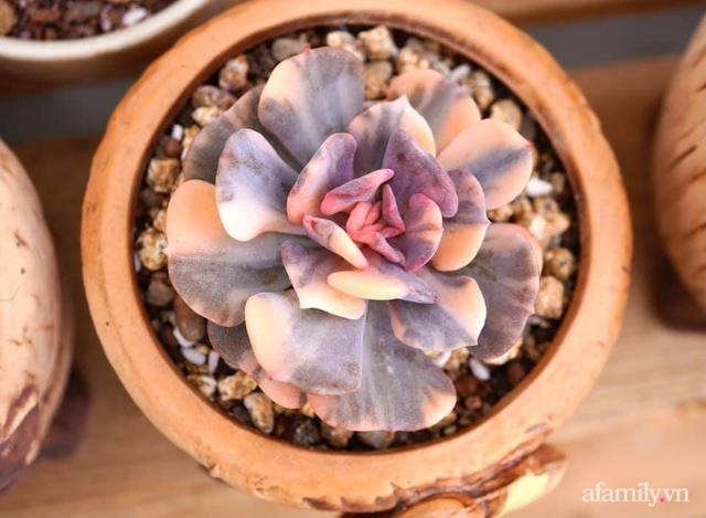 Khu vườn có hơn 100 loài sen đá rực rỡ trên sân thượng của vợ chồng trẻ Hải Phòng - Ảnh 33.