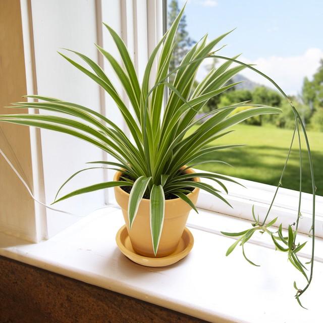 12 loại cây cảnh được NASA gợi ý nên trồng trong nhà để lọc không khí và cải thiện sức khỏe - Ảnh 2.