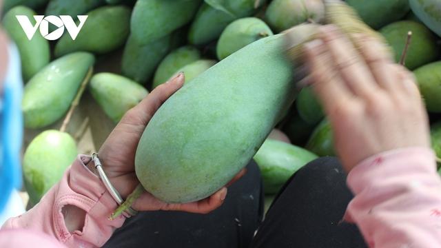 Sơn La xuất khẩu và tiêu thụ gần 7.000 tấn xoài Mường La  - Ảnh 1.