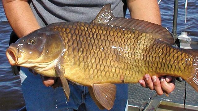 Một người đàn ông bị suy tạng sau khi nuốt mật cá chép: Chuyên gia khẳng định đây là bộ phận trong con cá không nên ăn! - Ảnh 2.